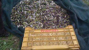 cassa con ulivi
